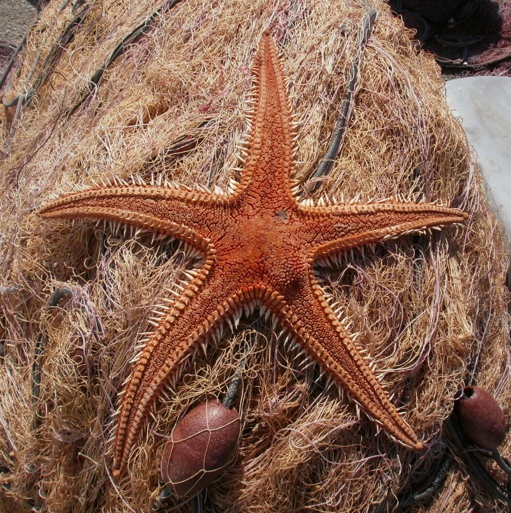 01-stella-di-mare-favignana-www.dovatu.it